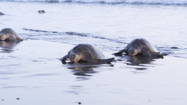 2 female olive ridley turtles in wet sand zo to show group on beach - costa rica stock videos & royalty-free footage