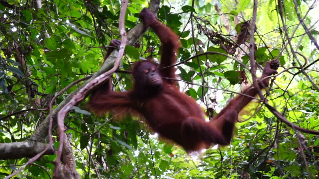 female orangutan at sepilok-kabili forest nature reserve - primate stock videos and b-roll footage