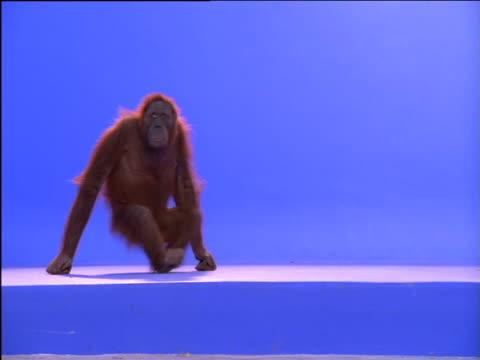 female orang-utan knuckle walks across frame - monkey stock videos & royalty-free footage