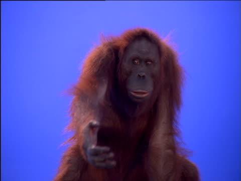 female orang-utan reaches toward camera - ape stock videos & royalty-free footage
