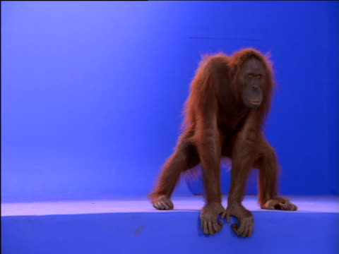 vidéos et rushes de female orang-utan squats and walks on step - mammifère
