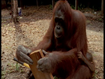 female orangutan with baby manipulates hammer, nails and piece of wood, camp leakey, borneo - intelligence video stock e b–roll