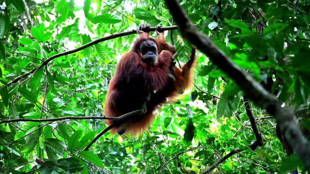 vídeos y material grabado en eventos de stock de hembra orangután con el bebé - isla de sumatra