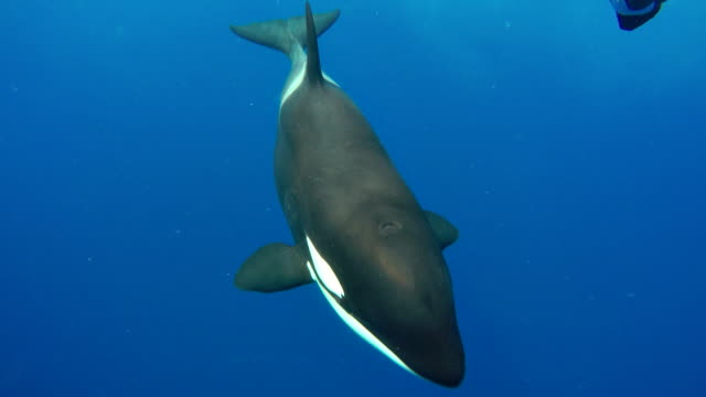 vidéos et rushes de female orca swims very close and straight at the camera in clear blue water. - épaulard