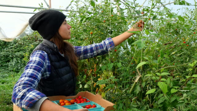 MS ZI ZO Female organic farmer harvesting tomatoes in greenhouse