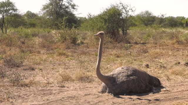 Female Ostrich Roosting