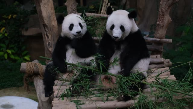 stockvideo's en b-roll-footage met a female panda cub 19th month yi yi play inside the cage during her naming ceremony at malaysia national zoo on august 1 2019 kuala lumpur malaysia... - dierentuin