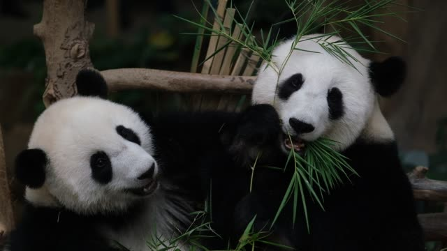 female panda cub 19th month yi yi plays with her mother liang liang inside the cage during her naming ceremony at malaysia national zoo on august 1,... - panda stock-videos und b-roll-filmmaterial