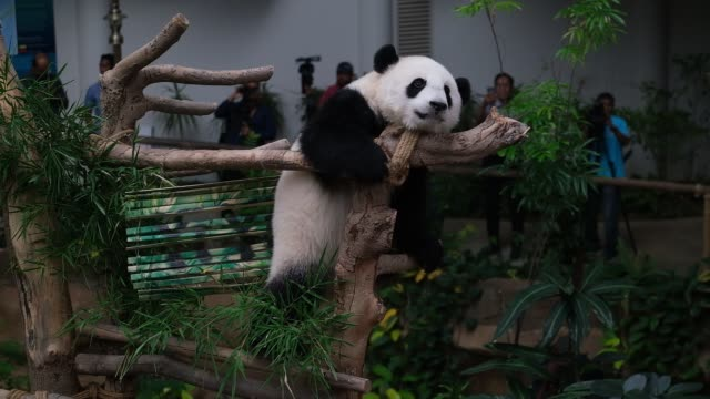 stockvideo's en b-roll-footage met a female panda cub 19th month yi yi plays with her mother liang liang inside the cage during her naming ceremony at malaysia national zoo on august 1... - dierentuin