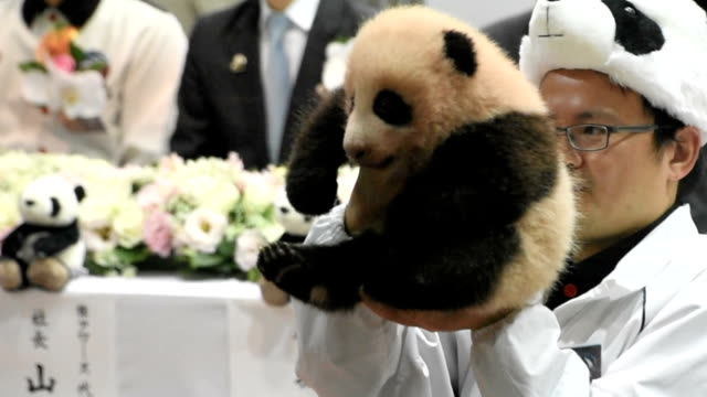 female panda cub born on september 18 at the adventure world zoo and theme park in shirahama, wakayama prefecture, was given its name, yuihin, at a... - 14 15 years stock videos & royalty-free footage