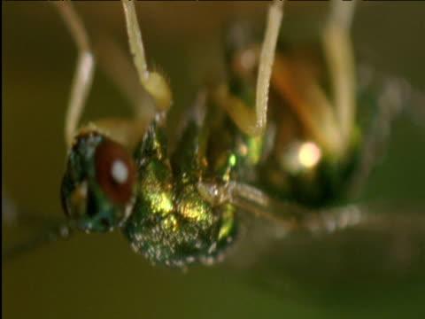 female parasitoid wasp lays eggs into host's gall on oak tree - parassita video stock e b–roll