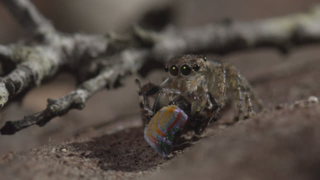 female peacock jumping spider (maratus volans) eats hapless male, australia - peacock stock videos and b-roll footage