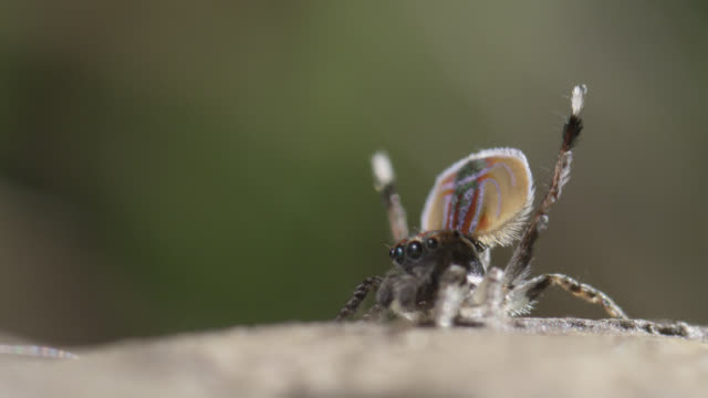 female peacock jumping spider (maratus volans) lunges at displaying male, australia - peacock stock videos and b-roll footage