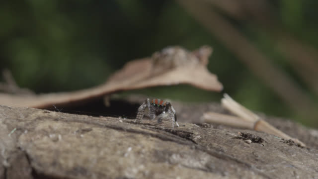 female peacock jumping spider (maratus volans) watches male, australia - spider stock videos & royalty-free footage
