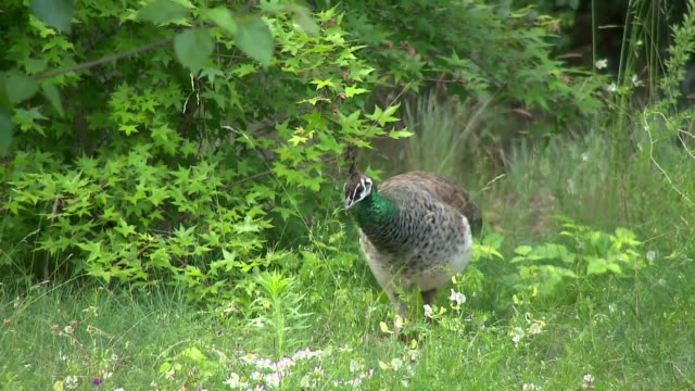 female peacock - hen stock videos & royalty-free footage