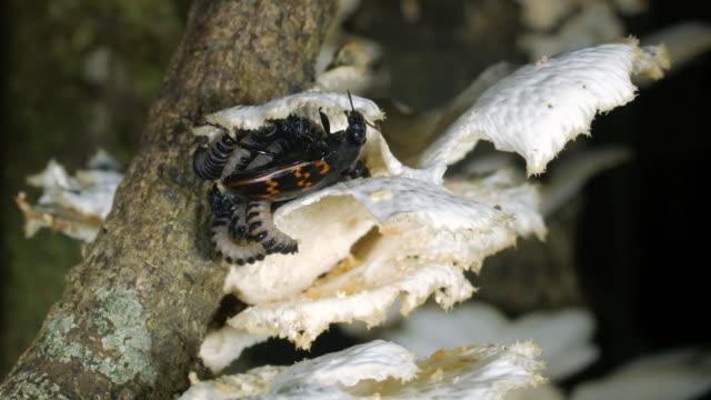 female pleasing fungus beetle (erotylidae) with brood of larvae - fungus stock videos & royalty-free footage