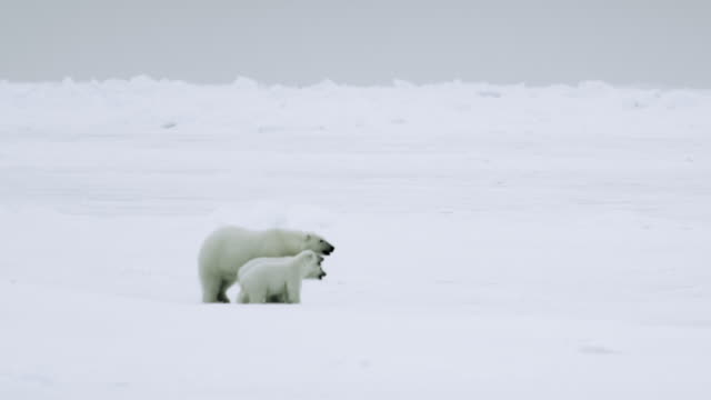 WS Female polar bear and her cubs crossing the tundra / Antarctica