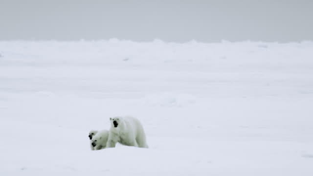 WS PAN Female polar bear and her cubs crossing the tundra / Antarctica