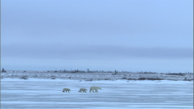 a female polar bear walks over the surface of a frozen lake followed by two cubs. - 肉食哺乳動物の子点の映像素材/bロール