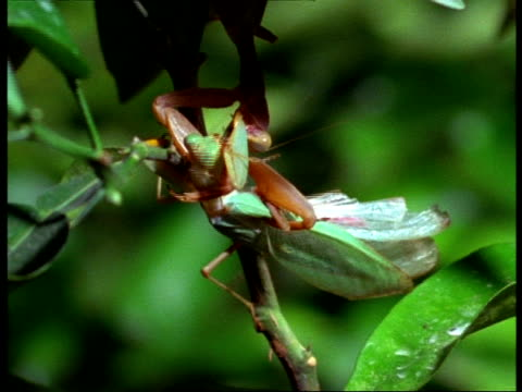 mcu female praying mantis (sphodromantis lineata) eating live male - female animal stock videos & royalty-free footage