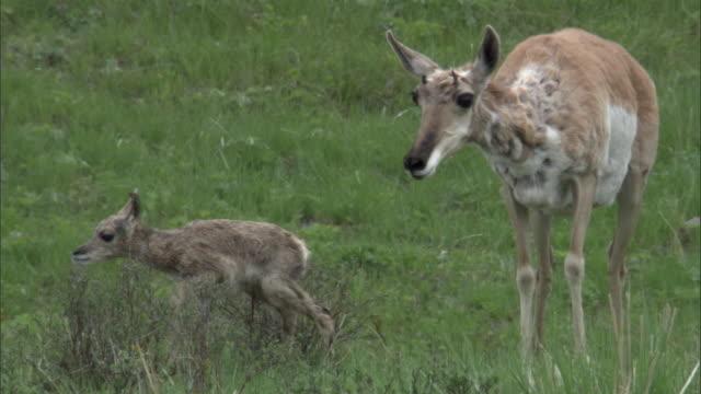 female pronghorn antelope (antilocapra americana) and newborn fawn, yellowstone, usa - femmina di daino video stock e b–roll