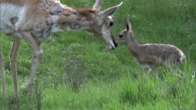 female pronghorn antelope (antilocapra americana) grooms newborn fawn, yellowstone, usa - プロングホーン点の映像素材/bロール