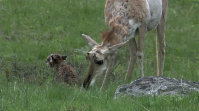 female pronghorn antelope (antilocapra americana) grooms newborn fawn, yellowstone, usa - femmina di daino video stock e b–roll