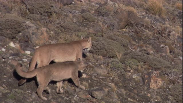 a female puma and her adolescent cubs walk across a rocky mountainside. available in hd. - south america stock videos & royalty-free footage