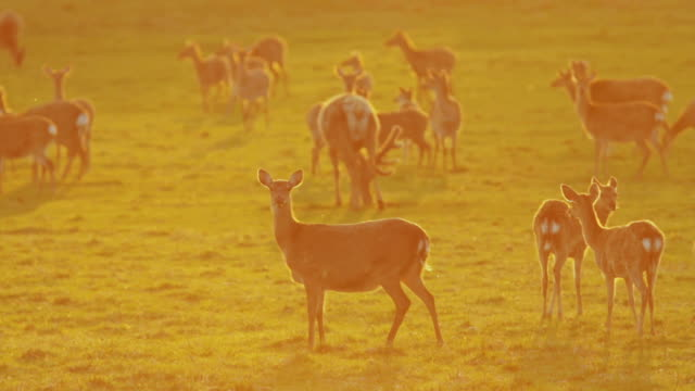 a female red deer in the sunset - doe stock videos & royalty-free footage