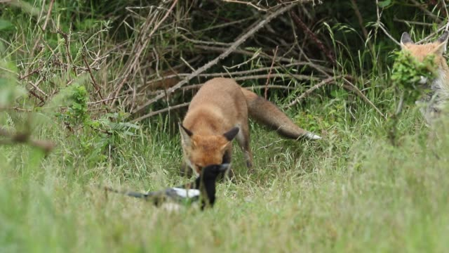 a female red fox, vulpes vulpes, and her cute cubs, are feeding at the entrance to their den. a few scuffles and play fighting breaks out over the food. - feeding stock videos & royalty-free footage