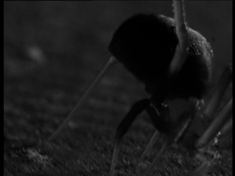 female redback spider adheres sticky trap line to ground - arachnophobia stock videos and b-roll footage