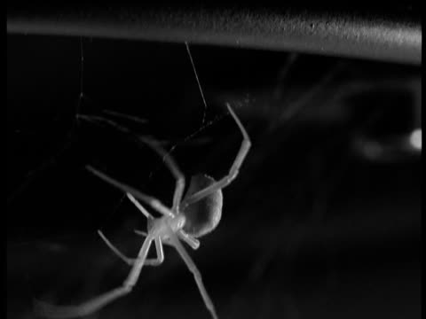 female redback spider descends on sticky trap line - arachnophobia stock videos and b-roll footage