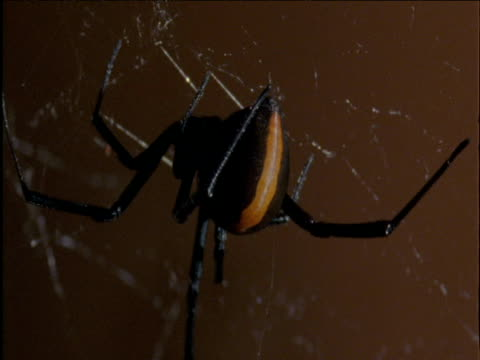female redback spider hangs from her web australia - arachnophobia stock videos and b-roll footage