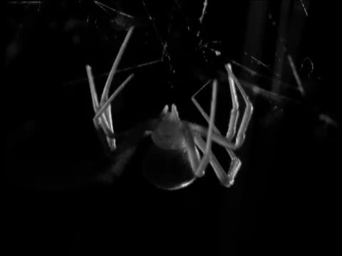 female redback spider hangs from her web - arachnophobia stock videos and b-roll footage
