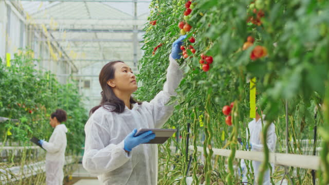 female research technician checking a tomato plant in the high-tech greenhouse - 45 49 years stock videos & royalty-free footage