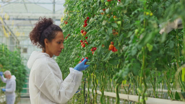 female research technician checking a tomato plants in a high-tech greenhouse - technician stock videos & royalty-free footage