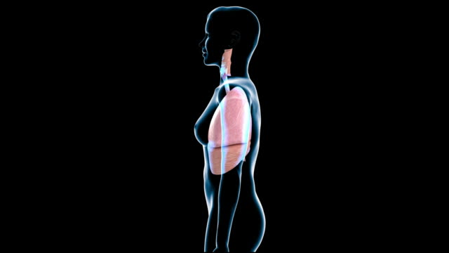 female respiratory system - trachea stock videos & royalty-free footage