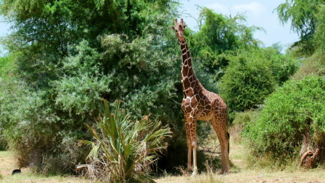 female reticulated giraffe grazing & observing samburu  kenya  africa - grasen stock-videos und b-roll-filmmaterial