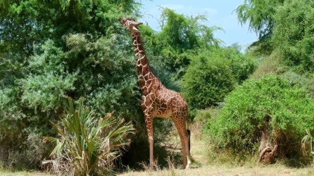 vídeos de stock, filmes e b-roll de female reticulated giraffe grazing samburu  kenya  africa - girafa