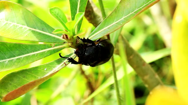 female rhino stag beetle - female animal stock videos & royalty-free footage