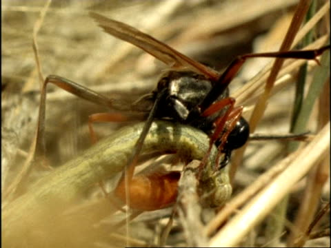 cu female sand wasp (ammophila) curling round caterpillar to sting it, usa - stechen stock-videos und b-roll-filmmaterial
