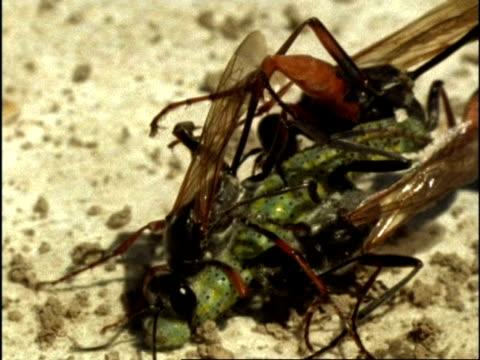 CU 3 Female Sand Wasps (Ammophila) fighting over caterpillar, USA