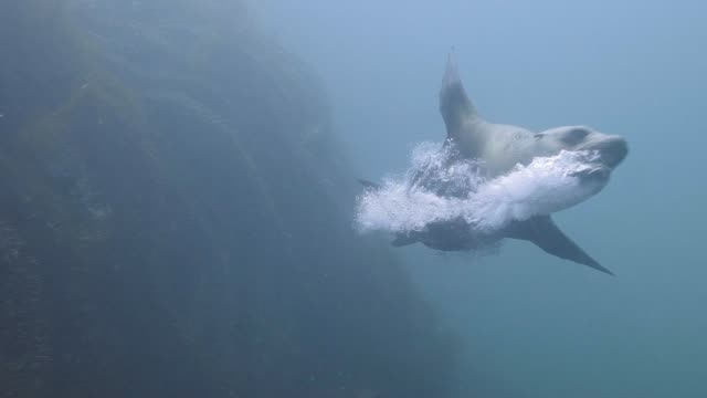 Female Sea Lion Dancing Slow Motion