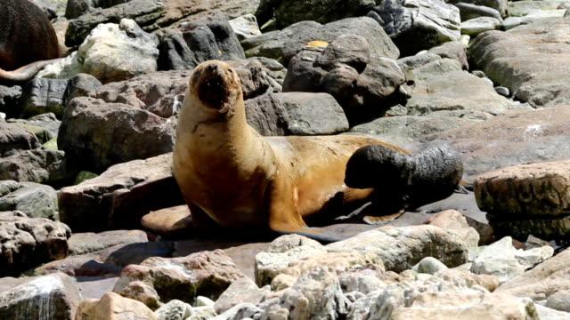 female sea lion (otaria flavescens) feeding her pup. - atlantic islands stock videos & royalty-free footage