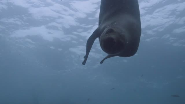 female sea lion swims by slow motion - sea lion stock videos & royalty-free footage