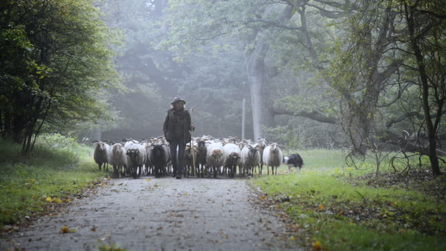 female shepherd and flock of sheep at a foggy sunrise in the woods - lamb animal stock videos and b-roll footage