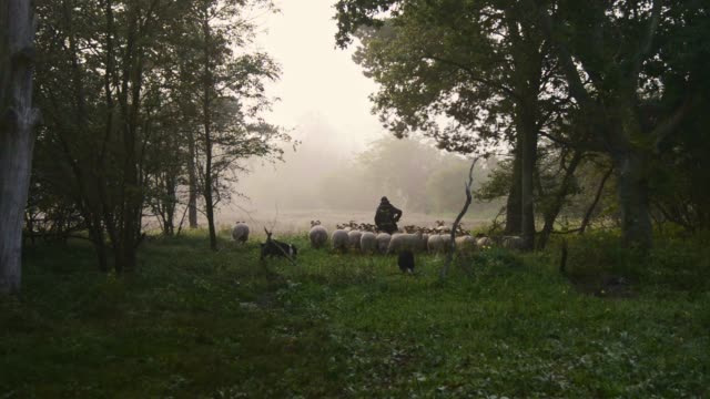 female shepherd and flock of sheep at a foggy sunrise in the woods - flock of sheep stock videos & royalty-free footage