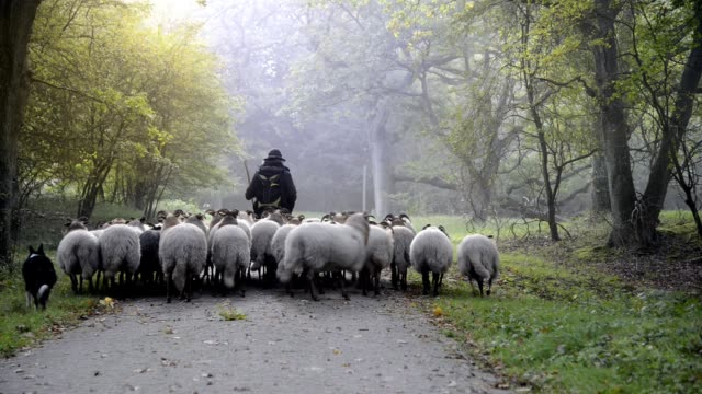 vídeos de stock e filmes b-roll de female shepherd and flock of sheep at a foggy sunrise in the woods - pastorear