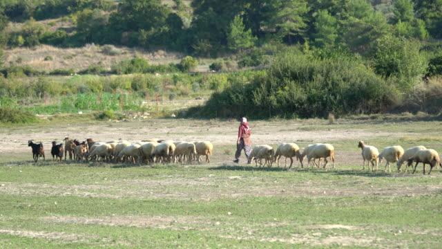 雌の羊飼いと羊の群れ - 羊飼いの棒点の映像素材/bロール