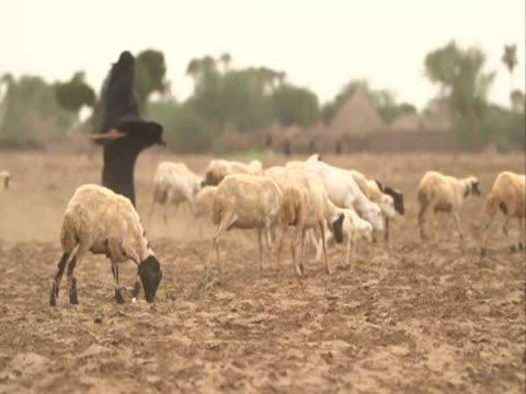 vidéos et rushes de female shepherd herds goats across a field. - vêtement religieux